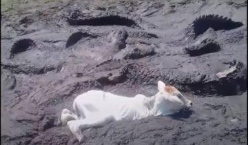 Теленок завяз в грязи: голодные аллигаторы окружили бедняжку