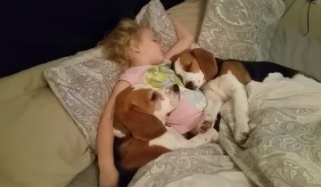 «Ну дайте же нам поспать!» маленькая хозяйка и ее собаки