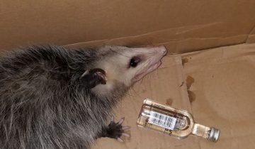Опоссум навеселе: зверек пробрался в магазин спиртных напитков
