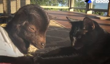 Кот помог встать на ножки козленку с обожженным копытцем