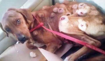 Эта собака была вся покрыта раковыми опухолями. Но спасатели верили в лучшее
