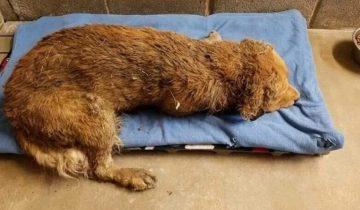 Его прогнали люди, невзлюбили собаки… Пес доживал дни под сараем