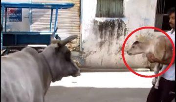 Когда детеныш коровы попал под машину, спасатели захотели ему помочь