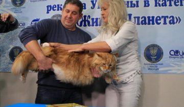 Рыжий мейнкун признан самым большим котом Украины