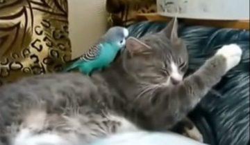 Попугай решил достать кота (5,5 млн. просмотров)