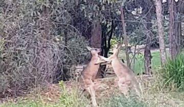 Как разнять кенгуру-драчунов? Пригрозить им!