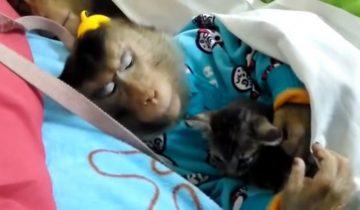 Котенок засыпает в объятиях обезьянки