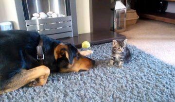 Взрослый пес так хочет поиграть с котенком (5 млн. просмотров)