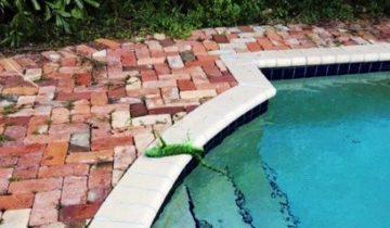 Экстремальные холода во Флориде: игуаны падают с деревьев