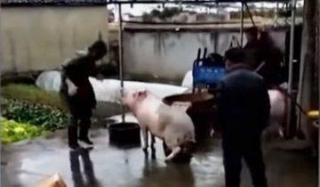 Свинья спасает жизнь другу: не позволю убивать товарища!