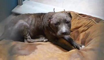 После собачьих боев собака лишилась ушей, но не надежды