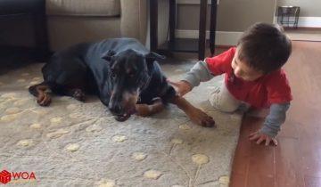 Доберманы и дети — лучшие друзья