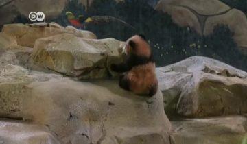 Французский зоопарк впервые представил публике детеныша панды