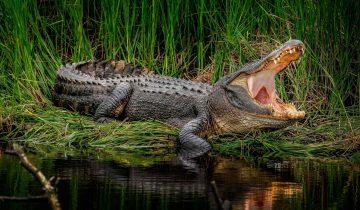 В питерском подвале 10 лет жил… нильский крокодил