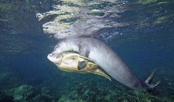 Увидев, что черепаха попала в беду, тюлень не проплыл мимо