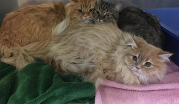 Хозяин оставил трех породистых котов у двери зоомагазина