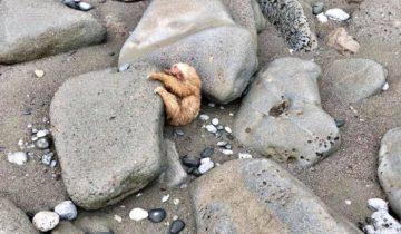 Прилив принес на дикий пляж… ленивца. Бедняга застрял под камнями