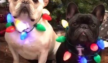 Собаки, которые буквально одержимы Рождеством