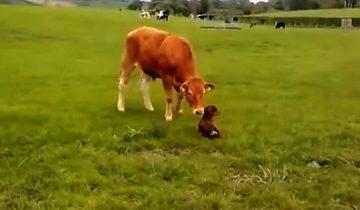 Щенок не может сдержаться от радости, встретив… корову