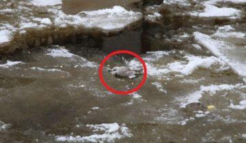 Чайка вмерзла в лед на Неве: спасение птицы
