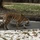 Тигр, который идет по тонкому льду, стал героем интернета