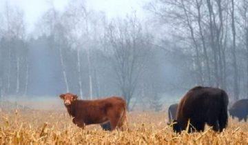 Корова в поисках приключений сбежала к зубрам