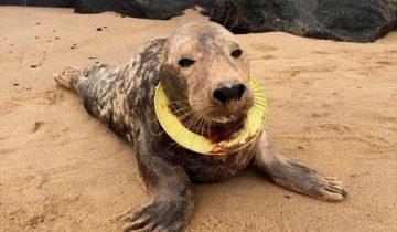 На пляже в Великобритании нашли тюлениху с детской летающей тарелкой на шее