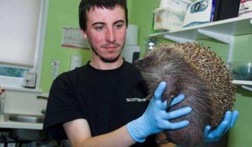 В Шотландии к ветеринарам попал ежик, надутый, как воздушный шар