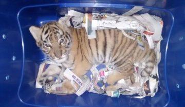 В Мексике пытались переслать почтой живого тигренка