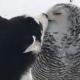 Хаски и полярная сова: вот это любовь!