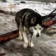 Пса бросили на цепи, не обеспечив даже крышей над головой