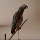 «Красная Шапочка» в исполнении умного попугая