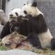 У мамы точно вкуснее: детеныш панды отбирает еду у родительницы