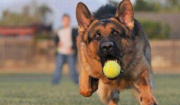 Какая собака самая забавная? Немецкая овчарка!