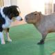 Знакомство собаки и капибары собрало 2,6 млн. просмотров