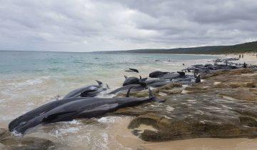 Трагедия в Австралии: больше 130 дельфинов-гринд выбросились на берег