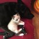 Питбуль стал няней для сотни котят
