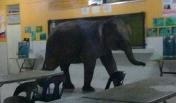 В Малайзии в школьную столовую заглянул … слон