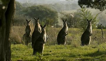 Парень решил поохотиться на кенгуру, но очень сильно об этом пожалел
