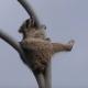 В интернет попал ролик с героическим побегом енота