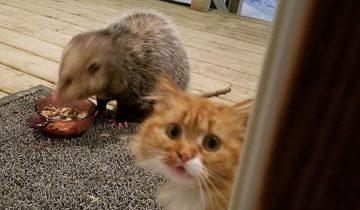 Кот выдал потрясающую реакцию, увидев, как воруют его корм (фото)
