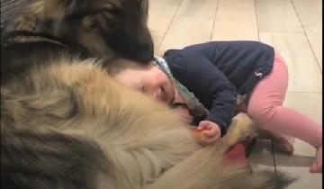 В доме появился малыш, и пес стал для него лучшей нянькой