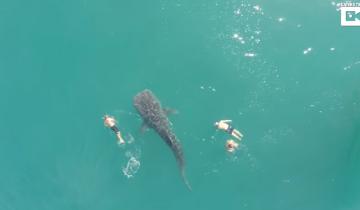 Уникальный момент попал в кадр: люди плывут бок о бок с китовой акулой