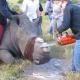 Зоозащитники спилили носорогу рог ради его же блага