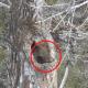 Мишка просыпается после зимней спячки: реальные кадры
