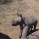 Отважный детеныш защищает маму-носорога