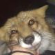 «Я в домике!» — лисичка собрала 1 млн. просмотров и вызывает приступ умиления