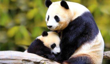Мама-панда играет со своим детенышем. Можно любоваться бесконечно
