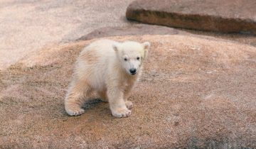 В Сингапуре умер первый в мире «тропический» белый медведь
