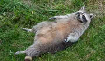 Женщина нашла енота во дворе, подумав, что его сбила машина